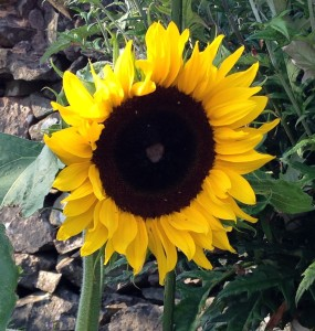 A photo of Jenny Wright's sunflower, which was grown from the plant given by the Sunday School on Mothering Sunday.